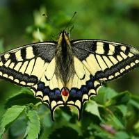 800px-Papilio_Machaon_JPG1a.jpg