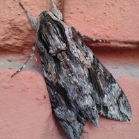 Agrius convolvuli - вьюнковый бражник