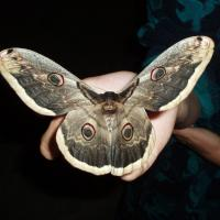 крупная бабочка с серыми крыльями и нарисованными на них глазами