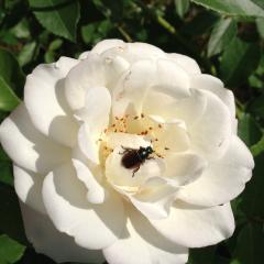 Жук-вредитель на розах