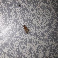 Помогите опознать жука. Нашел дома