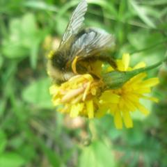 пчела или шмель?