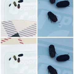 Непонятные жуки..появляются вечером с открытого окна..ползают медленно. Если холодно засыпают. Не воняют.