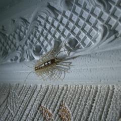 Этого  гостя я встретил утром на собственном потолке, в жизни ничего подобного не встречал.