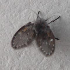 маленькие черные (на вид) бабочки