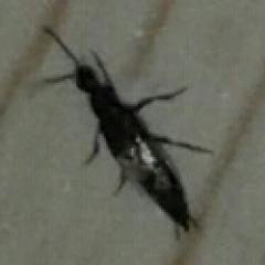 помогите опознать черного жука