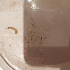 Личинка светлого цвета, на конце хвост из волосков.  Выловлена из пруда. Волоски по телу не видны. Конечности тоже.