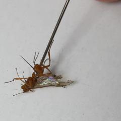 комар или не комар