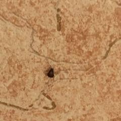 помогите определить насекомое в квартире