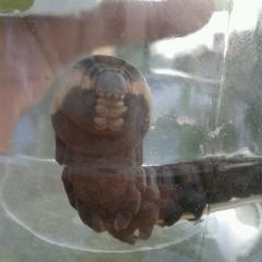серая толстая и большая гусеница!
