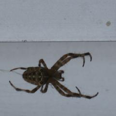 паук светло кремового цвета. На спине еще более светлый тонкий крест. Размер примерно 3см в размахе лап. Лапы горизонтально поло