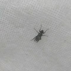 Вроде муха, но тело длинное, на голове пушок, лапки длинные цепкие. Живёт в теплице на спанбонде. вялая, не летает, холодно.