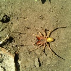 Подскажите, что за паук?