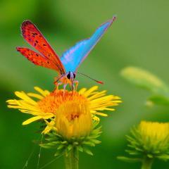 Красивое фото бабочки на цветке одуванчика.  Ярких крылышек очаровывает контрастом лазури с багровой нижней подсветкой.