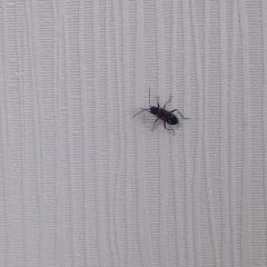 Подскажите, пожалуйста, что этоза жучок может быть в квартире? Раньше таких никогда не видела, периодически появляются из ниоткуда на стене или на полу