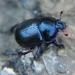 Красивый жук, сверху тёмно-синий, почти чёрный. Снизу синий переливающийся разными оттенками. Фото снизу сделать не удалось.