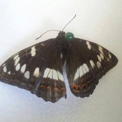 Помогите определить бабочку!