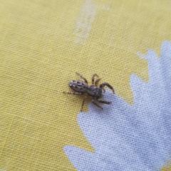Кто в курсе, что это за вид пауков, прыгучий и летающий?