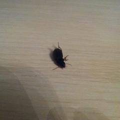 Жуки черные с рыжеватыми лапками, обычно появляются возле окна. Щелей нет, окна с сетками. Полтора сантиметра длинной.
