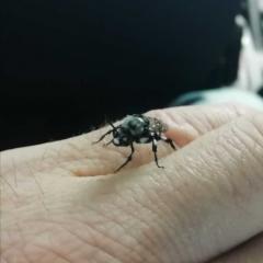 Похож на пчелу размеры почти размеры почти так же как у пчелы,  только чёрно-белая