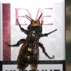 рупное полосатое насекомое, живет у меня рой до 10 особей, в земле под старым пн