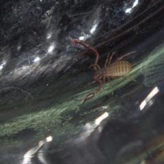 Скорпион без хвоста