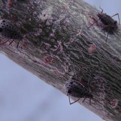 Длина 1,5-2мм.Ряд симметричных темных пятен на спинеОдно пятно побольше в центре.