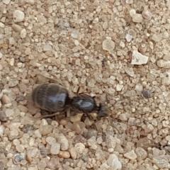 Помогите определить насекомое, похож на большого муравья