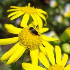 Маленькое насекомое на цветке крестовника. Украина, остров Хортица.